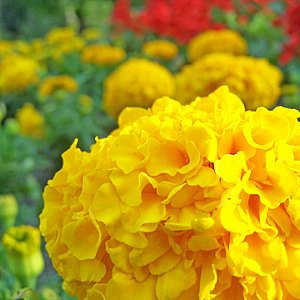 Marigold Crackerjack Mix Seeds