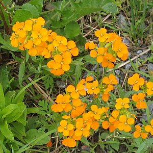 Siberian Wallflower Seeds