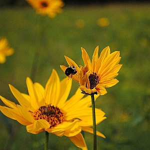 Sunflower Perennial Seeds