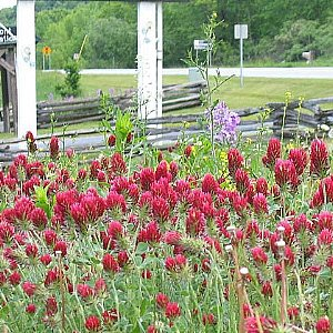 Crimson Clover Seeds