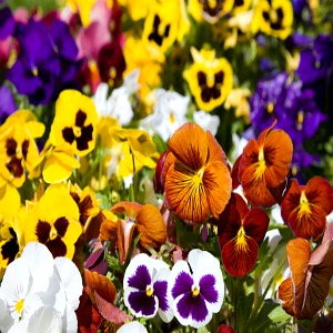Viola Pansy Mix Seeds