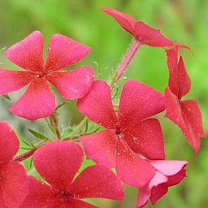 Drummond Phlox Seeds