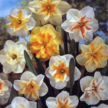 Daffodil 'Butterfly Mix'