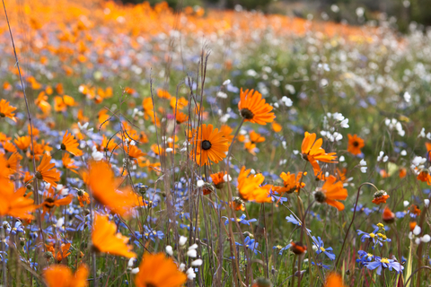 Blue and Gold<br/> Wildflower Seed Mix