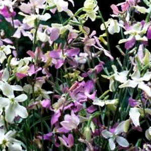 Evening Scented Stock Seeds