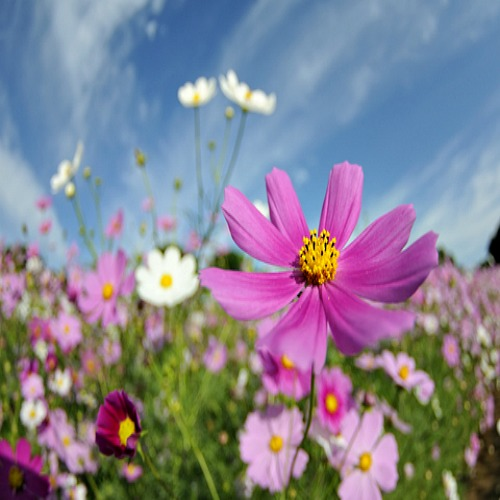 Forever Pink <br/> Wildflower Seed Mix