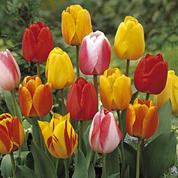 Value Bag - Tulip 'Tequila Sunrise Mix'