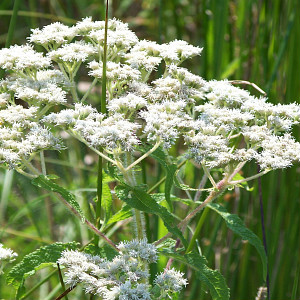 Wet Meadow <br/> Wildflower & Grass Seed Mix