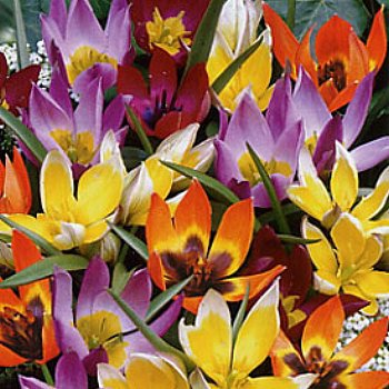 Tulip 'Wildflower Mix'