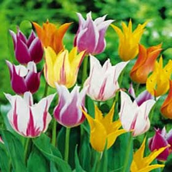 Tulip 'Lily Flowering Mix'