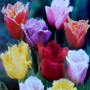 Tulip 'Fringed Mix'