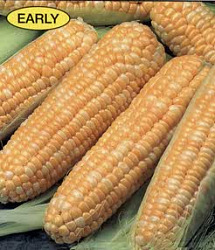 Sweet Corn - Butter & Sugar Bicolor Seeds