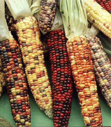 Corn - Ornamental Indian Seeds