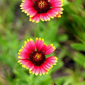 Indian Blanket Seeds
