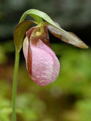 Pink Lady Slipper Plant