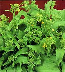 Broccoli - Spring Raab Seeds