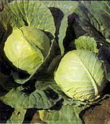 Cabbage - Copenhagen Seeds
