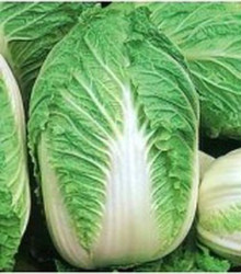 Chinese Cabbage - Michihli Seeds