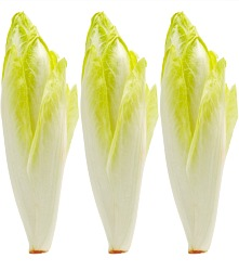Belgian Endive Witloof Chicory Seeds