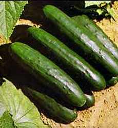 Cucumber - Marketmore Seeds