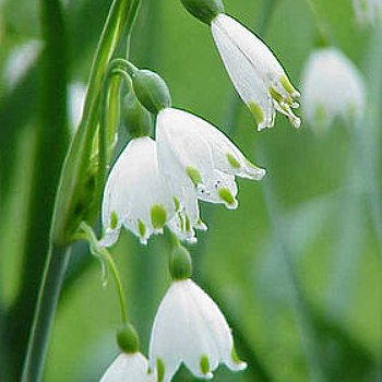 Giant Snowdrops