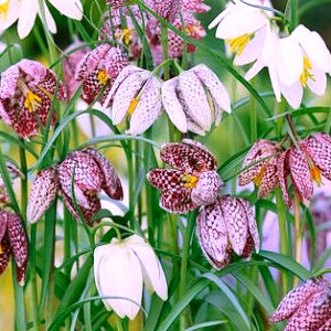 Chequered Lily Mix
