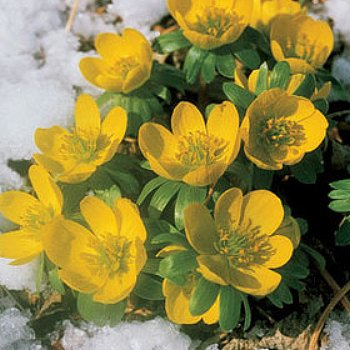 Winter Buttercups