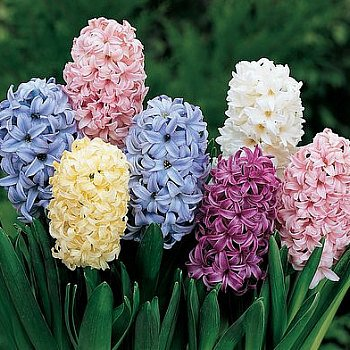 Hyacinth 'Easter Joy Mix'