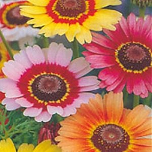 Painted Daisy Seeds