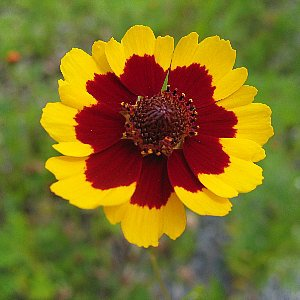 Plains Coreopsis Seeds