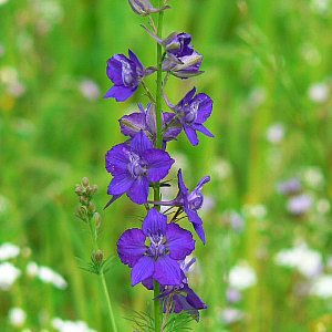 Rocket Larkspur Seeds
