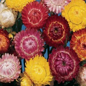 Strawflower Mix Seeds
