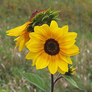 Sunflower Wild Annual Seeds
