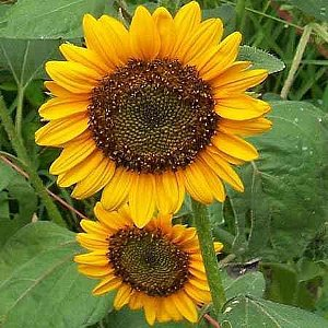 Sunflower Dwarf Sunspot Seeds