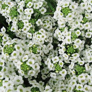 Sweet Alyssum Seeds