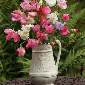 Sweet Pea Mix Seeds