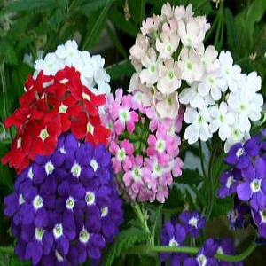Verbena Florists Mix Seeds