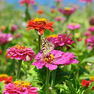 Zinnia Color Mix Seeds