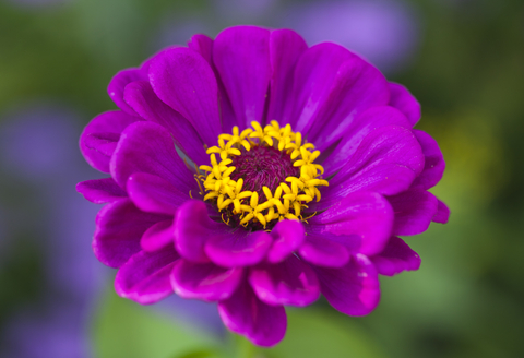 Zinnia Purple Seeds