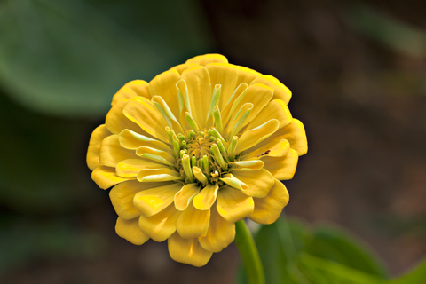 Zinnia Yellow Seeds