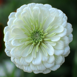 Zinnia White Seeds