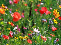 Wildflower Seed Mixes