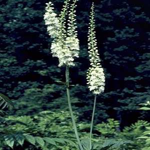 Black Cohosh Seeds