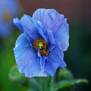 Blue Himalayan Poppy Seeds