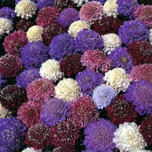 Pincushion Flower Mix Seeds