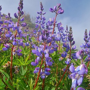 Annual Arroyo Lupine Seeds