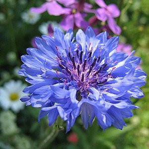 Cornflower Blue Seeds