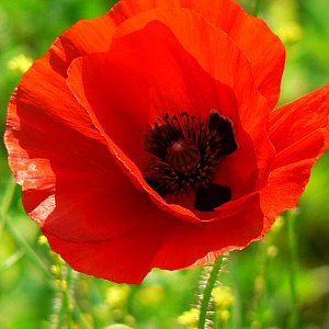 Red Poppy Seeds