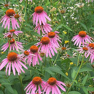 Purple Coneflower Seeds