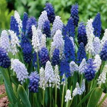 Value Bag - Muscari 'Delft Blue Mix'